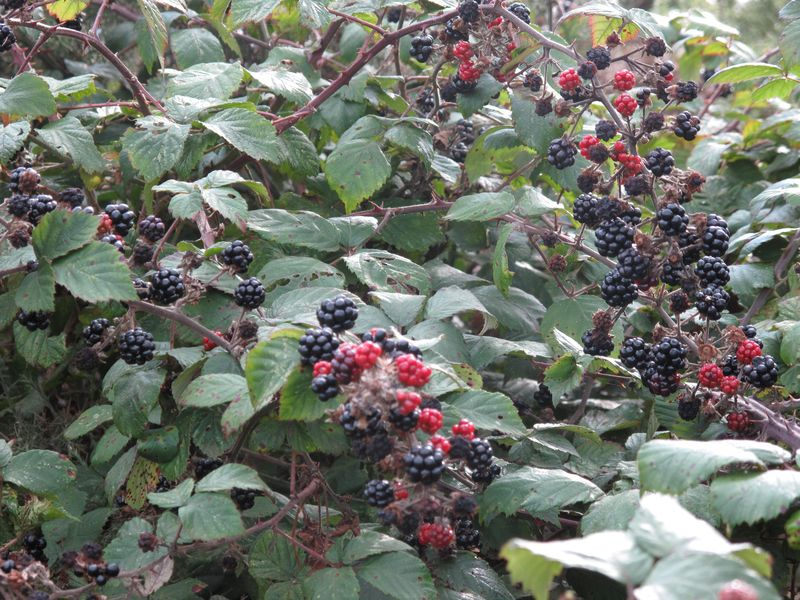 Beautiful Baking with Blackberries - Miranda Gore Browne
